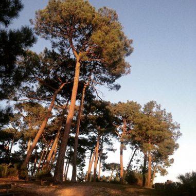 huile oceopin, issue des pins de l'Atlantique