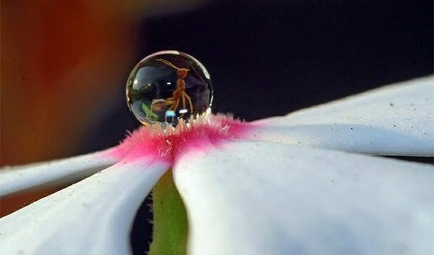 huile de fourmis anti-poils
