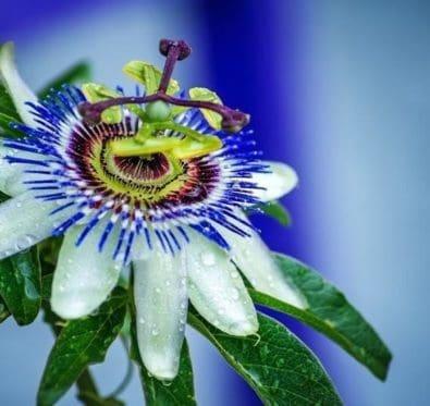 La passiflore : somnifère naturel et allié bien-être