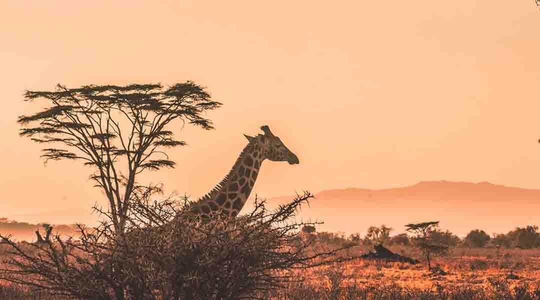 Girafe dans la savane