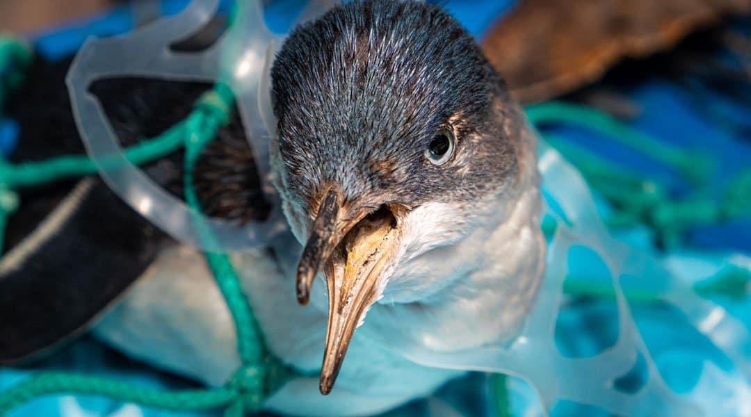 oiseau pris au piège dans du plastique